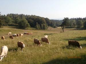 Vaches laitières à Sainte Colombe de Peyre..
